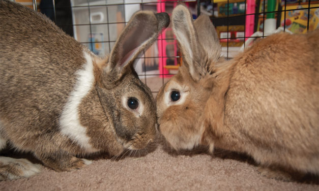 It's Not Just a Dog or Cat Choice: Consider Getting a Rabbit!