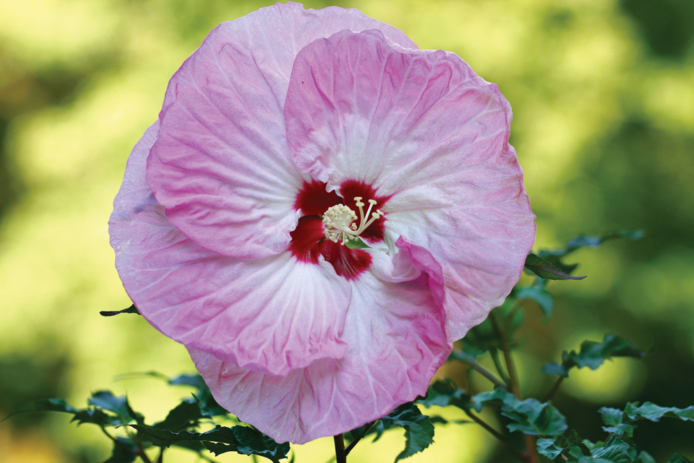 An example of a hardy hibiscus. Photo by iStock.com/DipaliS